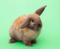 Rabbit isolated on the green. Stock Image
