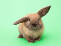 Rabbit isolated on the green. Stock Photos