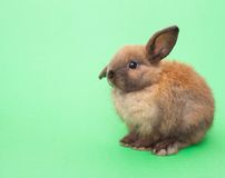 Rabbit isolated on the green. Royalty Free Stock Photo