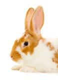 Rabbit isolated Royalty Free Stock Photography