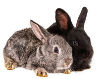 Rabbit isolated Royalty Free Stock Image