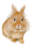 Rabbit isolated on white background Stock Photography