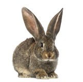 Rabbit, isolated on white Stock Photography
