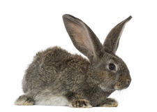 Rabbit, isolated on white. Rabbit, isolated on a white background stock photos