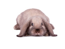 Rabbit isolated on a white. Background Stock Photography