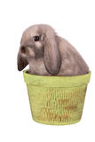 Rabbit isolated on a white. Background Royalty Free Stock Photography
