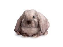 Rabbit isolated on a white. Background Royalty Free Stock Images