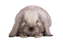 Rabbit isolated on a white. Background Royalty Free Stock Photo