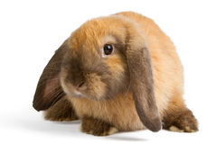 Rabbit isolated on white background. Baby of orange rabbit isolated on white background Royalty Free Stock Photo