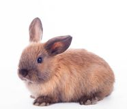 Rabbit isolated on the white. Royalty Free Stock Image