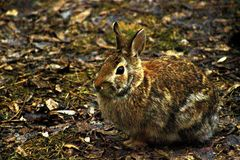 Rabbit in its habitat. Rabbit posing for a photo while at its habitat Royalty Free Stock Image