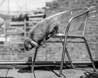 Rabbit jumping down. Long eared rabbit jumping down from steel chair Stock Image