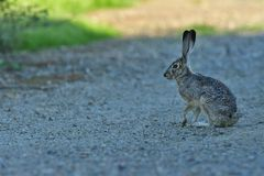 A  Rabbit sitting and lost in full throughts. This rabbit is just taking a break from his continuous hops on the road royalty free stock photo
