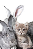 Rabbit and kitten. Image of grey rabbit with cute kitten near by Stock Photography