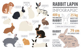 Rabbit, lapin breed infographic template. Flat design. Vector illustration Stock Image