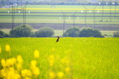 Rabbit on the large yellowish green colza field. Stock Photo
