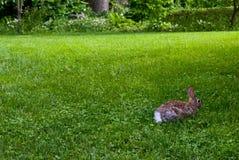 Rabbit on Lawn Royalty Free Stock Photos