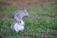 Rabbit lay on green lawn Royalty Free Stock Images