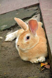 Rabbit lay on ground Royalty Free Stock Image
