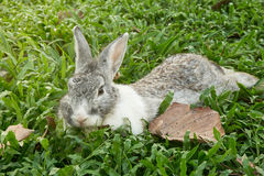 Rabbit lays down on the green grass field. Royalty Free Stock Image
