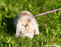 Rabbit on the leash Stock Image