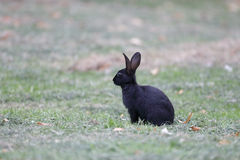 Rabbit, Lepus curpaeums Royalty Free Stock Images