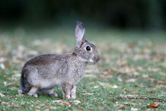 Rabbit, Lepus curpaeums Royalty Free Stock Photo