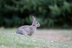 Rabbit, Lepus curpaeums Stock Photography