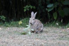 Rabbit, Lepus curpaeums Royalty Free Stock Photos