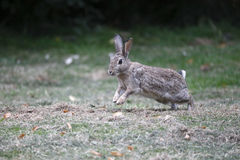 Rabbit, Lepus curpaeums Royalty Free Stock Image