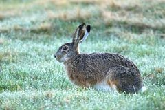 Rabbit Lepus europaeus. Beautiful morning hare Lepus europaeus stock photo