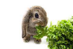 Rabbit and lettuce Royalty Free Stock Photos