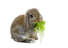 Rabbit and lettuce. Baby Rabbit chewing a lettuce leaf Stock Photos