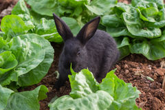 Rabbit lettuce Royalty Free Stock Images