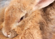 Rabbit is light brown Royalty Free Stock Images
