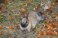 Rabbit. Litte grey rabbit lays on the grass around autumn leaves Stock Images