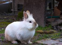 Rabbit, little sweet bunny. The Lionhead rabbit royalty free stock image