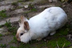 Rabbit, little sweet bunny. The Lionhead rabbit royalty free stock photos