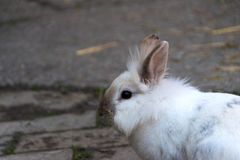 Rabbit, little sweet bunny. The Lionhead rabbit royalty free stock photography