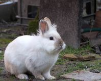 Rabbit, little sweet bunny. The Lionhead rabbit stock photos