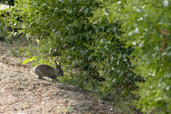 Rabbit. Little wild rabbit in the bushes Stock Photography