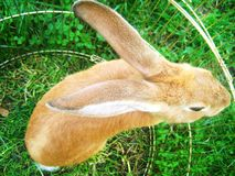Rabbit on the meadow. Rabbit with long ears in the cage Stock Photos