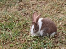 Rabbit with long ears and a shiny coat Royalty Free Stock Image