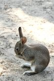 Rabbit with long ears Royalty Free Stock Images