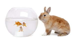 Rabbit looking at goldfish in bowl. In front of white background Royalty Free Stock Images