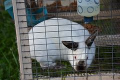 Rabbit looking through the side of her pen stock image