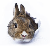 Rabbit looks through a hole in a paper Royalty Free Stock Photos