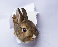 Rabbit looks through a hole in a paper Royalty Free Stock Photography