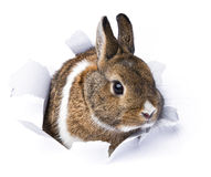 Rabbit looks through a hole in paper Stock Photography