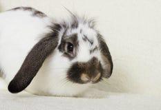Rabbit looks Stock Image